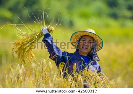 hard working woman cutting rice in the fields