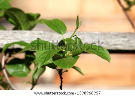 Hardy kiwi or Actinidia arguta perennial vine with dark green leathery leaves and small hardy kiwifruit or kiwi berry or arctic kiwi or baby kiwi