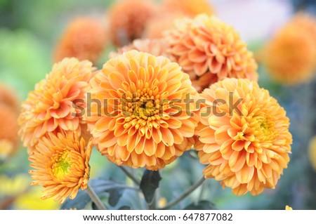 hardy mum daisy in the garden