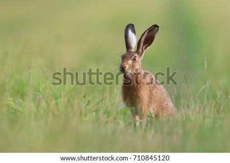 Hare #710845120