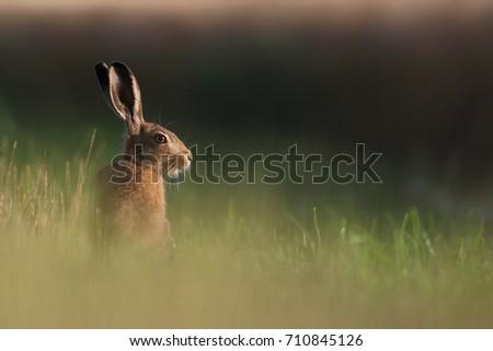 Hare #710845126