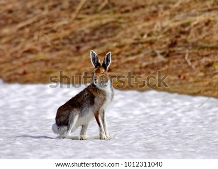 Hare-hare - can reach a speed of 70 km/h. Hares (Latin Lepus) - genus from the family of hares. Habitat-everywhere, except Australia and Antarctica, only about 30 species. #1012311040