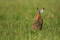 hare in the beautiful light on green grassland,european wildlife, wild animal in the nature habitat, czech republic, lepus europaeus