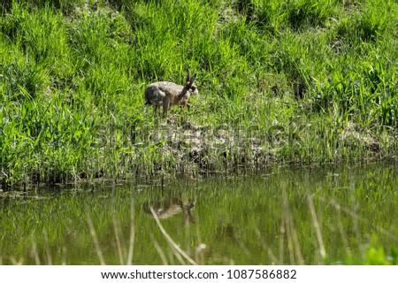 Hare in the grassland #1087586882