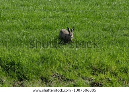 Hare in the grassland #1087586885