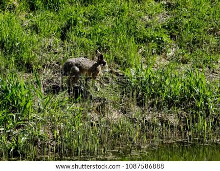 Hare in the grassland #1087586888