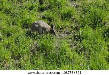 Hare in the grassland #1087586891