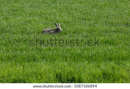 Hare in the grassland #1087586894
