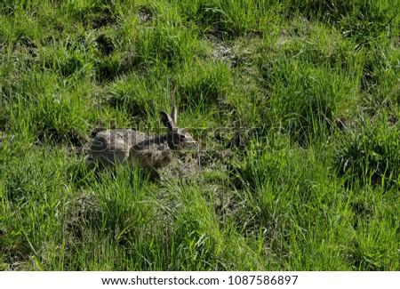 Hare in the grassland #1087586897