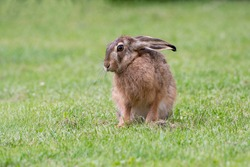Hare sitting in the grass with its head turned to the side