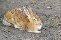 Hare sleeping on the ground