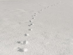 Hare tracks. Hare trail in the snow. The tracks of a wild hare in the snow. Footprint in the snow.