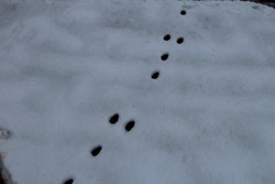 Hare tracks in the snow on the field
