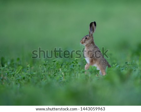 Hare,wildlife,animals,cute animals,wildlife animals,wildlife,animals,cute animals,wildlife animals #1443059963