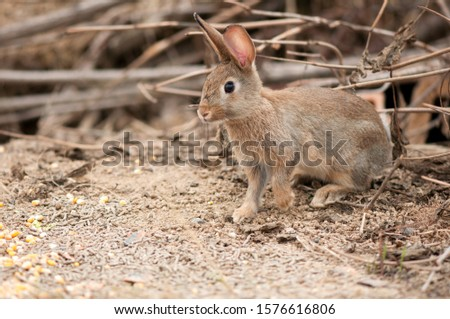 Hares and jackrabbits are leporids belonging to the genus Lepus. Hares are classified in the same family as rabbits Сток-фото ©