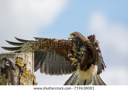 Shutterstock Haris hawk bird of prey landing on falconry display post. Country fair image with copy space.
