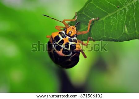 Harlequin Bug or Murgantia histrionica #671506102