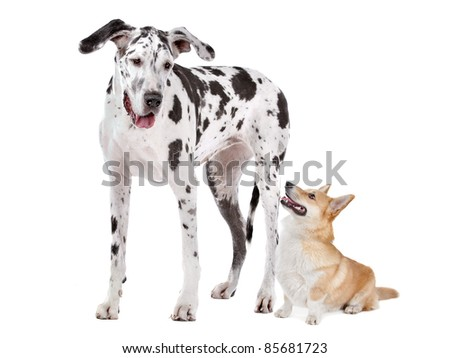 Harlequin Great Dane and a Pembroke Welsh Corgi dog in front of a white background