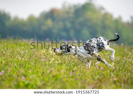 Harlequin Great Dane is running fast in a field full of flowers. Goofy dog making funny faces Foto stock ©