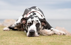 Harlequin Great Dane laying on ground.