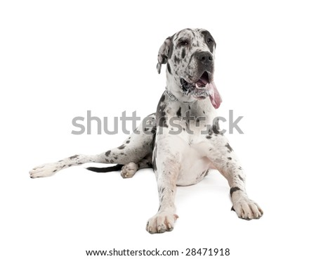 harlequin Great Dane (18 months old) in front of a white background