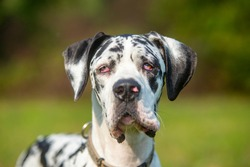 Harlequin Great Dane portrait, outdoor shot, blurred background, white and black dog