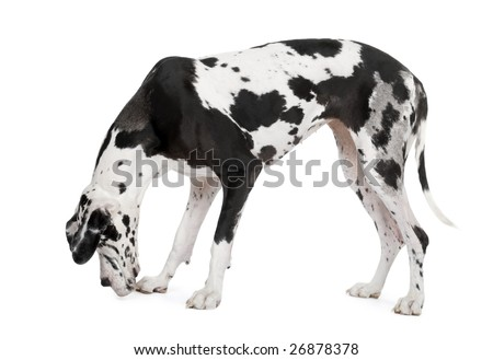 harlequin Great Dane (4 years) in front of a white background - stock photo