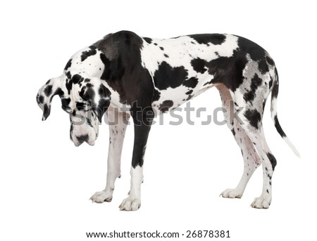 harlequin Great Dane (4 years) in front of a white background