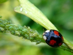 Harlequin ladybird eating aphids on a plant