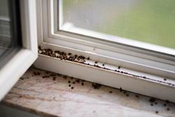 Harlequin ladybugs and Asian ladybugs on window.