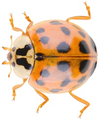 Harmonia axyridis, most commonly known as the harlequin, multicolored Asian, or simply Asian ladybeetle, is a large coccinellid beetle. Dorsal view of ladybug isolated on white background.
