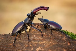 Harmonious scenery of male stag beetle, lucanus cervus, standing above female and protecting her in summer nature. Pair of winged bugs on branch sunlit by sun.