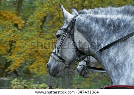 Harnessed horse in the autumn park #347431364