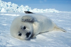 Harp Seal, pagophilus groenlandicus, Pup laying on Ice Floe, Magdalena Island in Canada