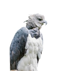 Harpia harpyja. Neotropical species of eagle. Isolated