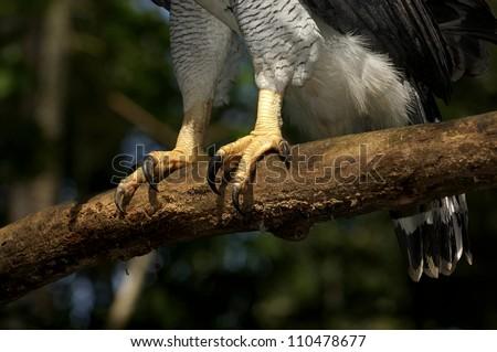 Eagle Claws Clipart Harpy Eagle Claws Harpia