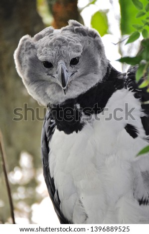 Harpy eagle female observing birdwatcher #1396889525