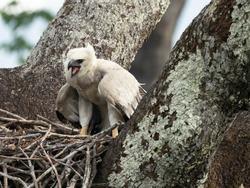 Harpy Eagle, Harpia harpy, Brazil, South America