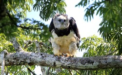 Harpy Eagle (Harpia harpyja) in Ecuador, south America