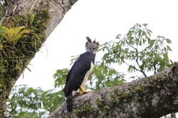Harpy Eagle (Harpia harpyja) in Ecuador, south America