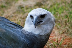 Harpy eagle (Harpia harpyja) or royal-hawk close-up.