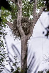 Harpy Eagle nest photographed in Linhares, Espirito Santo. Southeast of Brazil. Atlantic Forest Biome. Picture made in 2015.