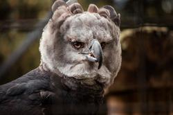 Harpy eagle  Park Condor Reservation