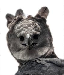 Harpy eagle portrait from a rehabilitated bird