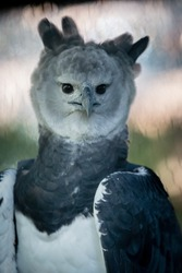Harpy Eagles are among the world's largest and most powerful eagles. Their rear talons are about 3-4 inches long. Deforestation and shooting are the two main threats to their survival. Harpia harpyja.