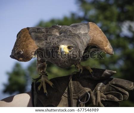 Shutterstock Harris Hawk