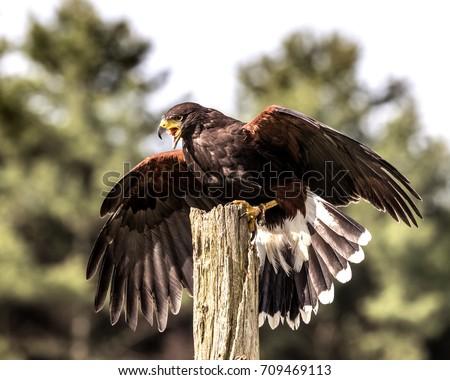 Shutterstock Harris' Hawk