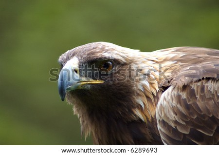 Harris Hawk Gaze