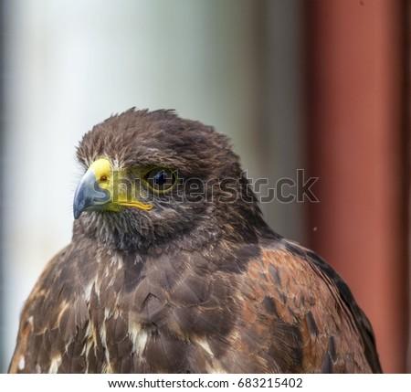 Shutterstock Harris hawk head and neck