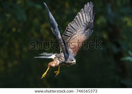 Shutterstock Harris Hawk in flight